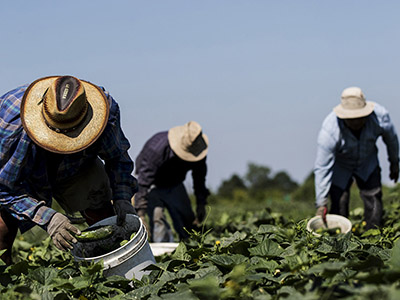 Grown Locally, Harvested Globally: The Role of Temporary Foreign Workers in Canadian Agriculture